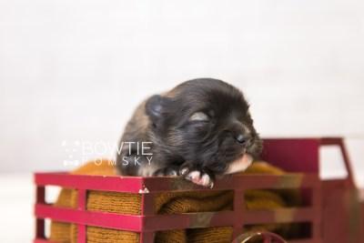 puppy97 week1 BowTiePomsky.com Bowtie Pomsky Puppy For Sale Husky Pomeranian Mini Dog Spokane WA Breeder Blue Eyes Pomskies Celebrity Puppy web3