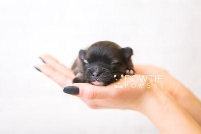 puppy97 week1 BowTiePomsky.com Bowtie Pomsky Puppy For Sale Husky Pomeranian Mini Dog Spokane WA Breeder Blue Eyes Pomskies Celebrity Puppy web6