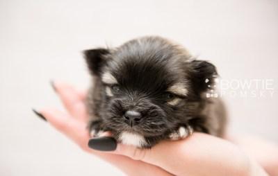 puppy97 week3 BowTiePomsky.com Bowtie Pomsky Puppy For Sale Husky Pomeranian Mini Dog Spokane WA Breeder Blue Eyes Pomskies Celebrity Puppy web1