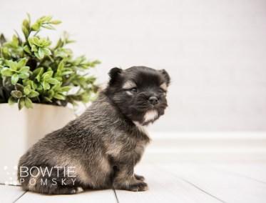puppy97 week3 BowTiePomsky.com Bowtie Pomsky Puppy For Sale Husky Pomeranian Mini Dog Spokane WA Breeder Blue Eyes Pomskies Celebrity Puppy web2