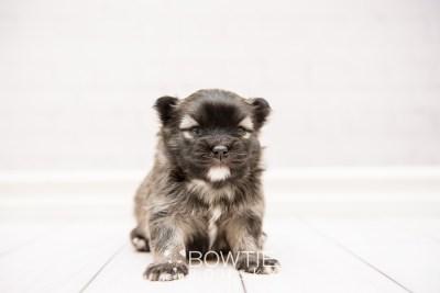 puppy97 week3 BowTiePomsky.com Bowtie Pomsky Puppy For Sale Husky Pomeranian Mini Dog Spokane WA Breeder Blue Eyes Pomskies Celebrity Puppy web3