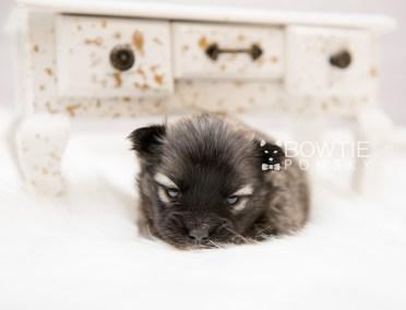 puppy97 week3 BowTiePomsky.com Bowtie Pomsky Puppy For Sale Husky Pomeranian Mini Dog Spokane WA Breeder Blue Eyes Pomskies Celebrity Puppy web5