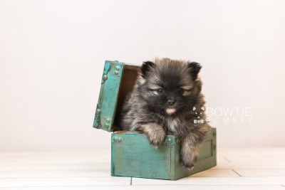 puppy97 week5 BowTiePomsky.com Bowtie Pomsky Puppy For Sale Husky Pomeranian Mini Dog Spokane WA Breeder Blue Eyes Pomskies Celebrity Puppy web1