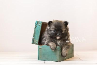 puppy97 week5 BowTiePomsky.com Bowtie Pomsky Puppy For Sale Husky Pomeranian Mini Dog Spokane WA Breeder Blue Eyes Pomskies Celebrity Puppy web1