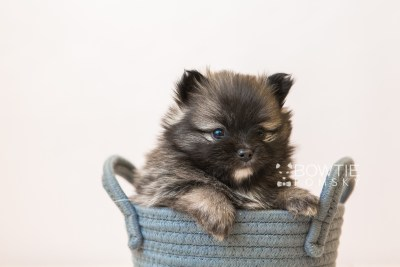 puppy97 week5 BowTiePomsky.com Bowtie Pomsky Puppy For Sale Husky Pomeranian Mini Dog Spokane WA Breeder Blue Eyes Pomskies Celebrity Puppy web2