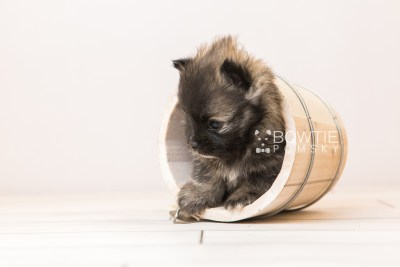 puppy97 week5 BowTiePomsky.com Bowtie Pomsky Puppy For Sale Husky Pomeranian Mini Dog Spokane WA Breeder Blue Eyes Pomskies Celebrity Puppy web3