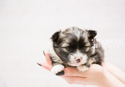 puppy98 week3 BowTiePomsky.com Bowtie Pomsky Puppy For Sale Husky Pomeranian Mini Dog Spokane WA Breeder Blue Eyes Pomskies Celebrity Puppy web1