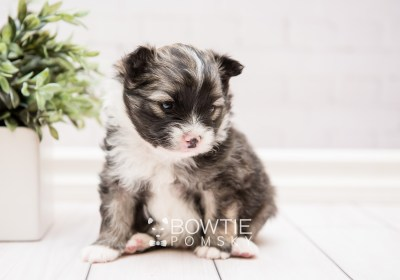 puppy98 week3 BowTiePomsky.com Bowtie Pomsky Puppy For Sale Husky Pomeranian Mini Dog Spokane WA Breeder Blue Eyes Pomskies Celebrity Puppy web2
