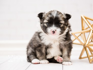 puppy98 week3 BowTiePomsky.com Bowtie Pomsky Puppy For Sale Husky Pomeranian Mini Dog Spokane WA Breeder Blue Eyes Pomskies Celebrity Puppy web3