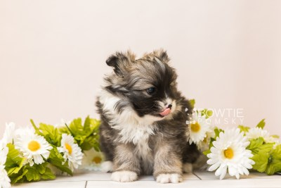 puppy98 week5 BowTiePomsky.com Bowtie Pomsky Puppy For Sale Husky Pomeranian Mini Dog Spokane WA Breeder Blue Eyes Pomskies Celebrity Puppy web5