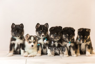 puppy85-90 week7 BowTiePomsky.com Bowtie Pomsky Puppy For Sale Husky Pomeranian Mini Dog Spokane WA Breeder Blue Eyes Pomskies Celebrity Puppy web1