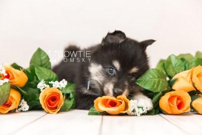 puppy86 week7 BowTiePomsky.com Bowtie Pomsky Puppy For Sale Husky Pomeranian Mini Dog Spokane WA Breeder Blue Eyes Pomskies Celebrity Puppy web1