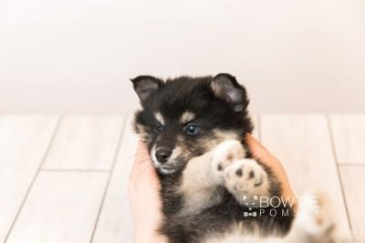 puppy86 week7 BowTiePomsky.com Bowtie Pomsky Puppy For Sale Husky Pomeranian Mini Dog Spokane WA Breeder Blue Eyes Pomskies Celebrity Puppy web4