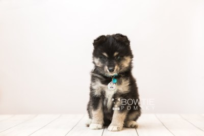 puppy86 week7 BowTiePomsky.com Bowtie Pomsky Puppy For Sale Husky Pomeranian Mini Dog Spokane WA Breeder Blue Eyes Pomskies Celebrity Puppy web6