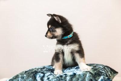 puppy87 week7 BowTiePomsky.com Bowtie Pomsky Puppy For Sale Husky Pomeranian Mini Dog Spokane WA Breeder Blue Eyes Pomskies Celebrity Puppy web3