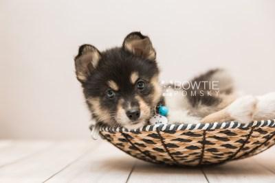 puppy87 week7 BowTiePomsky.com Bowtie Pomsky Puppy For Sale Husky Pomeranian Mini Dog Spokane WA Breeder Blue Eyes Pomskies Celebrity Puppy web4