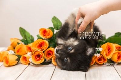 puppy88 week7 BowTiePomsky.com Bowtie Pomsky Puppy For Sale Husky Pomeranian Mini Dog Spokane WA Breeder Blue Eyes Pomskies Celebrity Puppy web1