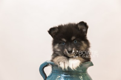 puppy88 week7 BowTiePomsky.com Bowtie Pomsky Puppy For Sale Husky Pomeranian Mini Dog Spokane WA Breeder Blue Eyes Pomskies Celebrity Puppy web3