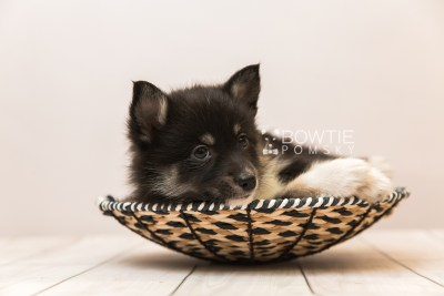 puppy89 week7 BowTiePomsky.com Bowtie Pomsky Puppy For Sale Husky Pomeranian Mini Dog Spokane WA Breeder Blue Eyes Pomskies Celebrity Puppy web5