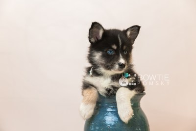 puppy90 week7 BowTiePomsky.com Bowtie Pomsky Puppy For Sale Husky Pomeranian Mini Dog Spokane WA Breeder Blue Eyes Pomskies Celebrity Puppy web3