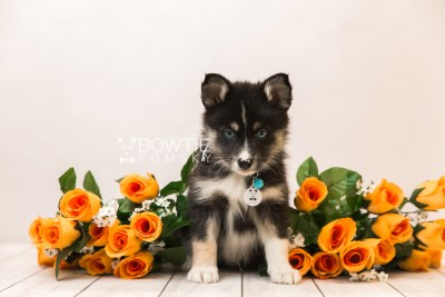 puppy90 week7 BowTiePomsky.com Bowtie Pomsky Puppy For Sale Husky Pomeranian Mini Dog Spokane WA Breeder Blue Eyes Pomskies Celebrity Puppy web5