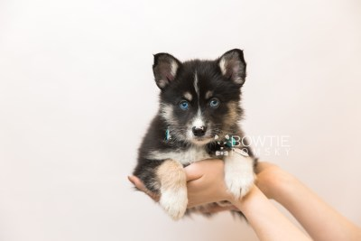 puppy90 week7 BowTiePomsky.com Bowtie Pomsky Puppy For Sale Husky Pomeranian Mini Dog Spokane WA Breeder Blue Eyes Pomskies Celebrity Puppy web6