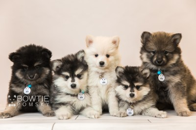 puppy91-95 week7 BowTiePomsky.com Bowtie Pomsky Puppy For Sale Husky Pomeranian Mini Dog Spokane WA Breeder Blue Eyes Pomskies Celebrity Puppy hi-res