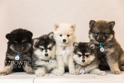 puppy91-95 week7 BowTiePomsky.com Bowtie Pomsky Puppy For Sale Husky Pomeranian Mini Dog Spokane WA Breeder Blue Eyes Pomskies Celebrity Puppy web