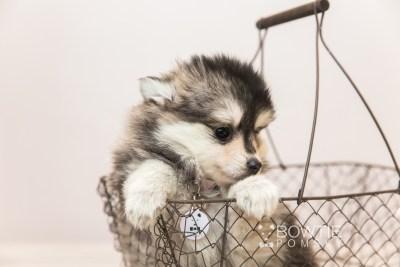 puppy91 week7 BowTiePomsky.com Bowtie Pomsky Puppy For Sale Husky Pomeranian Mini Dog Spokane WA Breeder Blue Eyes Pomskies Celebrity Puppy web3