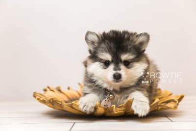 puppy91 week7 BowTiePomsky.com Bowtie Pomsky Puppy For Sale Husky Pomeranian Mini Dog Spokane WA Breeder Blue Eyes Pomskies Celebrity Puppy web4
