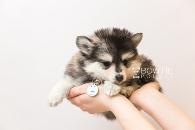 puppy91 week7 BowTiePomsky.com Bowtie Pomsky Puppy For Sale Husky Pomeranian Mini Dog Spokane WA Breeder Blue Eyes Pomskies Celebrity Puppy web6