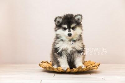 puppy93 week7 BowTiePomsky.com Bowtie Pomsky Puppy For Sale Husky Pomeranian Mini Dog Spokane WA Breeder Blue Eyes Pomskies Celebrity Puppy web2