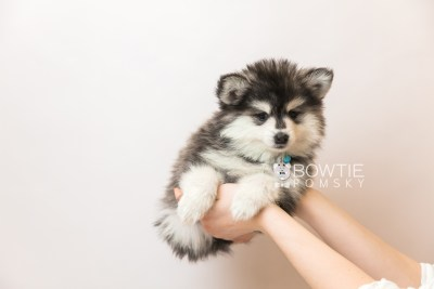 puppy93 week7 BowTiePomsky.com Bowtie Pomsky Puppy For Sale Husky Pomeranian Mini Dog Spokane WA Breeder Blue Eyes Pomskies Celebrity Puppy web6