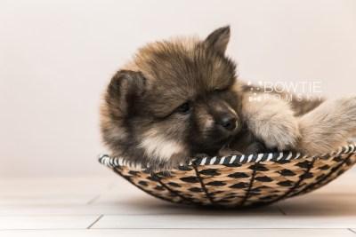 puppy94 week7 BowTiePomsky.com Bowtie Pomsky Puppy For Sale Husky Pomeranian Mini Dog Spokane WA Breeder Blue Eyes Pomskies Celebrity Puppy web5