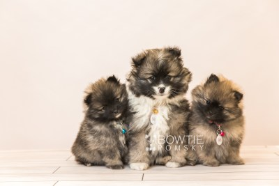 puppy96-98 week7 BowTiePomsky.com Bowtie Pomsky Puppy For Sale Husky Pomeranian Mini Dog Spokane WA Breeder Blue Eyes Pomskies Celebrity Puppy web