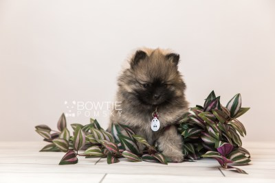 puppy96 week7 BowTiePomsky.com Bowtie Pomsky Puppy For Sale Husky Pomeranian Mini Dog Spokane WA Breeder Blue Eyes Pomskies Celebrity Puppy web3