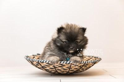puppy97 week7 BowTiePomsky.com Bowtie Pomsky Puppy For Sale Husky Pomeranian Mini Dog Spokane WA Breeder Blue Eyes Pomskies Celebrity Puppy web1