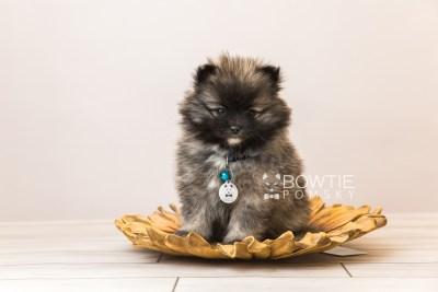 puppy97 week7 BowTiePomsky.com Bowtie Pomsky Puppy For Sale Husky Pomeranian Mini Dog Spokane WA Breeder Blue Eyes Pomskies Celebrity Puppy web5