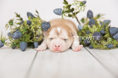 puppy100 week1 BowTiePomsky.com Bowtie Pomsky Puppy For Sale Husky Pomeranian Mini Dog Spokane WA Breeder Blue Eyes Pomskies Celebrity Puppy web2