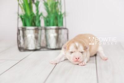puppy100 week1 BowTiePomsky.com Bowtie Pomsky Puppy For Sale Husky Pomeranian Mini Dog Spokane WA Breeder Blue Eyes Pomskies Celebrity Puppy web3