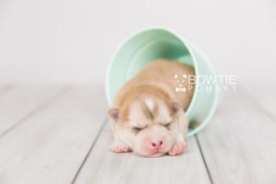 puppy100 week1 BowTiePomsky.com Bowtie Pomsky Puppy For Sale Husky Pomeranian Mini Dog Spokane WA Breeder Blue Eyes Pomskies Celebrity Puppy web4