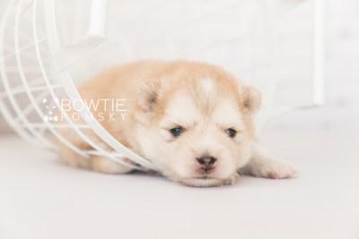 puppy100 week3 BowTiePomsky.com Bowtie Pomsky Puppy For Sale Husky Pomeranian Mini Dog Spokane WA Breeder Blue Eyes Pomskies Celebrity Puppy web5