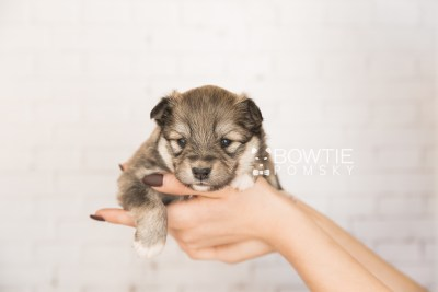 puppy101 week3 BowTiePomsky.com Bowtie Pomsky Puppy For Sale Husky Pomeranian Mini Dog Spokane WA Breeder Blue Eyes Pomskies Celebrity Puppy web2