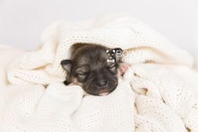 puppy102 week1 BowTiePomsky.com Bowtie Pomsky Puppy For Sale Husky Pomeranian Mini Dog Spokane WA Breeder Blue Eyes Pomskies Celebrity Puppy web4