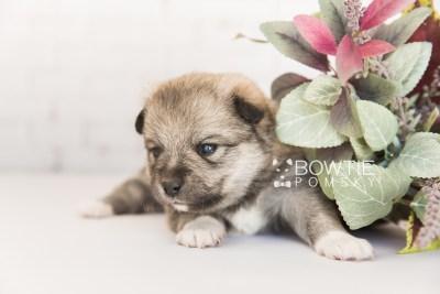puppy102 week3 BowTiePomsky.com Bowtie Pomsky Puppy For Sale Husky Pomeranian Mini Dog Spokane WA Breeder Blue Eyes Pomskies Celebrity Puppy web2