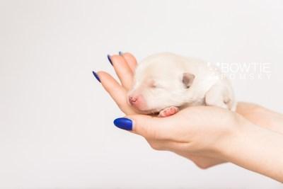 puppy103 week1 BowTiePomsky.com Bowtie Pomsky Puppy For Sale Husky Pomeranian Mini Dog Spokane WA Breeder Blue Eyes Pomskies Celebrity Puppy web5