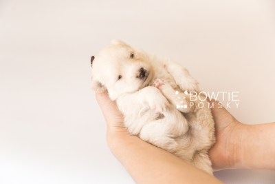puppy103 week3 BowTiePomsky.com Bowtie Pomsky Puppy For Sale Husky Pomeranian Mini Dog Spokane WA Breeder Blue Eyes Pomskies Celebrity Puppy web5