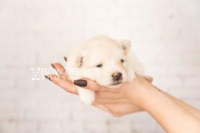 puppy103 week3 BowTiePomsky.com Bowtie Pomsky Puppy For Sale Husky Pomeranian Mini Dog Spokane WA Breeder Blue Eyes Pomskies Celebrity Puppy web6