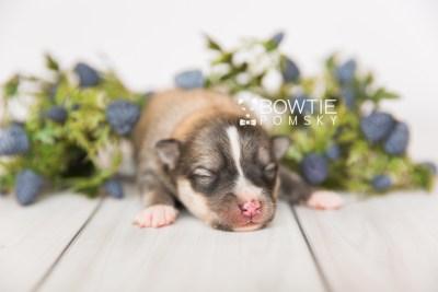 puppy99 week1 BowTiePomsky.com Bowtie Pomsky Puppy For Sale Husky Pomeranian Mini Dog Spokane WA Breeder Blue Eyes Pomskies Celebrity Puppy web3