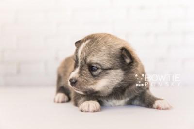 puppy99 week3 BowTiePomsky.com Bowtie Pomsky Puppy For Sale Husky Pomeranian Mini Dog Spokane WA Breeder Blue Eyes Pomskies Celebrity Puppy web1